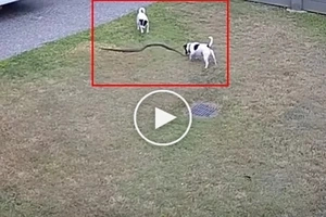Two dogs VS snake fight caught on CCTV
