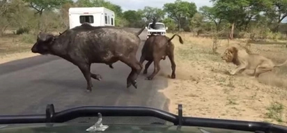 Watch Amazing Footage of Lions Hunting Down A Buffalo!