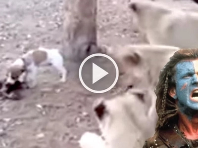 Outnumbered and outsized but not outmanned: Small dog fights off 3 lion cubs for food