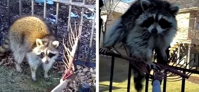 Man's attempt to drive out raccoon out of his backyard was caught on video. He had an extremely difficult time doing so!
