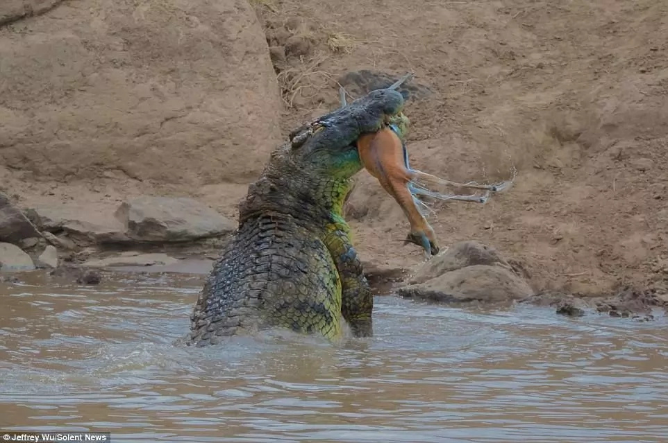 Massive 4.8-meter crocodile rips gazelle in HALF in Kenya's Mara River (photos)