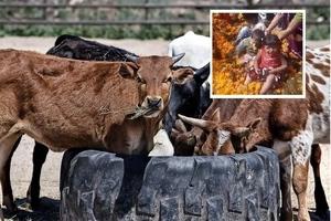 Madres meten a sus hijos en estiércol de vaca para darles buena suerte