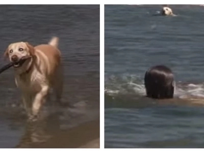Blind Labrador Retriever rescues two drowning teenagers!