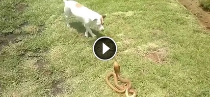 WATCH: Pet owner makes his small dog fight a deadly cobra; their brutal fight will shock you!