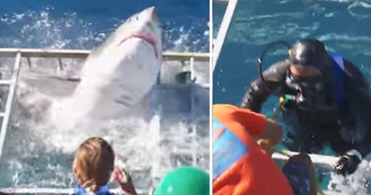 Diver Is Trapped Inside A Cage With WHITE SHARK (Attention: Graphic Video)
