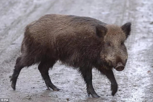 Fight against terrorism receives rare boost as vicious wild PIGS kill 3 ISIS jihad fighters in al-Rashad (photos)