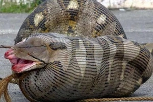 Photos showing that pythons are the most ruthless and stupid animals on earth
