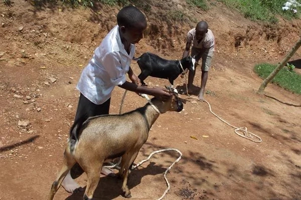 Young children are also taught livestock farming to make and save money