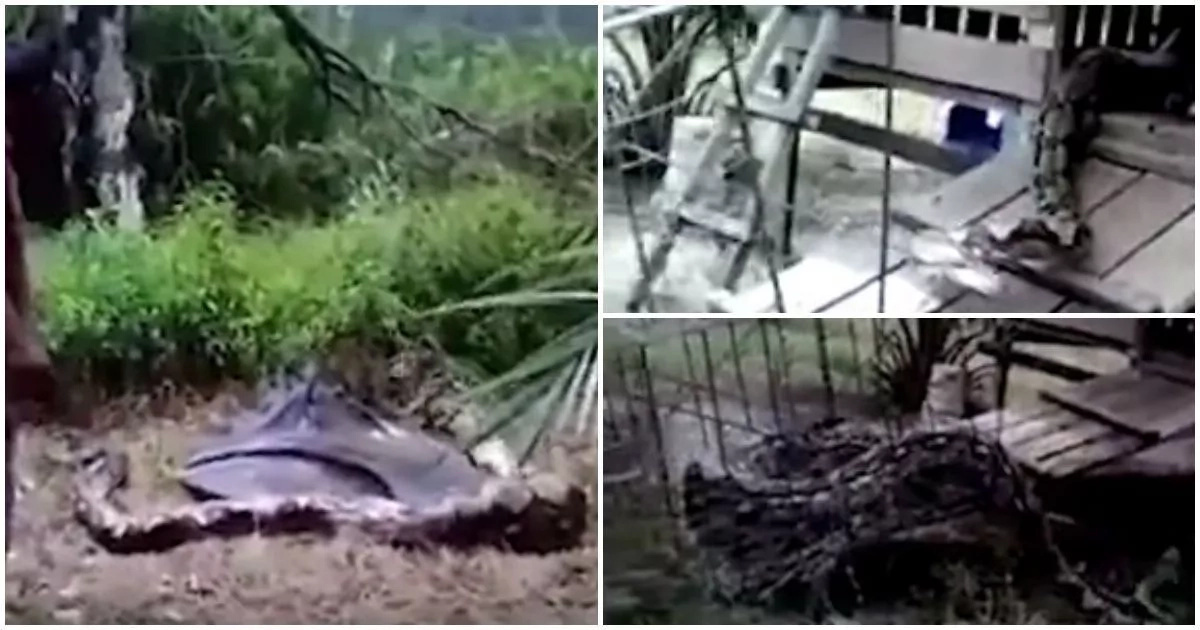 This farmer fights giant 4.5m python to death after it swallowed his goat (photos, video)