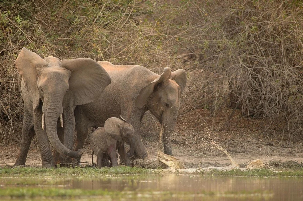 Baby elephant almost killed by a huge croc