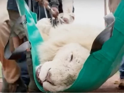 Rare white lion struggles to survive without vital teeth. Then rescuers give him a second chance (Video)