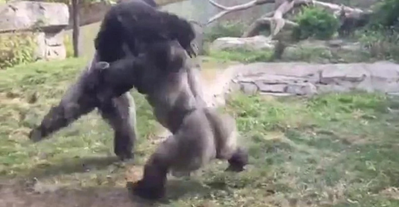 Watch: Two Male Gorillas Get Into An Incredible Fist Fight