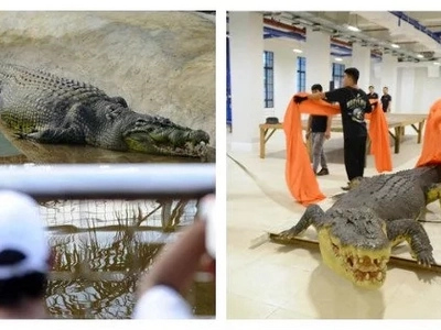 Tunay na yaman ng bansa! National Museum of Natural History welcomes Lolong, the largest crocodile in captivity