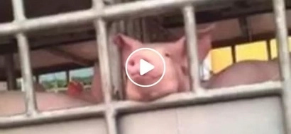 Netizen swears not to eat pork again after seeing an adorable pig flashing its cutest face at her