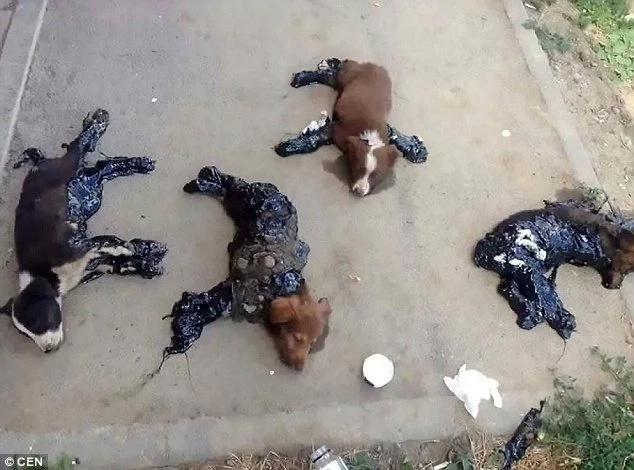 ¡Cruel! Una persona pegó cuatro perros al asfalto con alquitrán