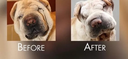 LOOK! Dogs in South Korea undergo plastic surgery