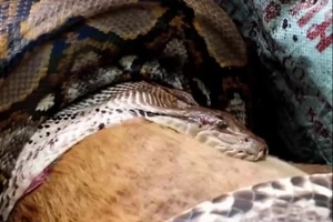 SHOCK: A large python crawled into her house and killed the dog. The photos are hideous!