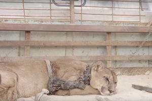 León de montaña fue encadenado por 20 años, su reacción cuando finalmente fue liberado no tiene precio