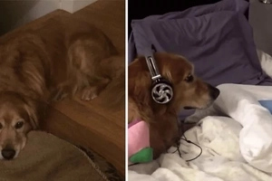 This cute video of a dog in headphones will make you go AWWW!