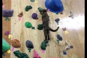 Superbly Agile Cat Climbs Vertical Walls In This Unbelievable Video