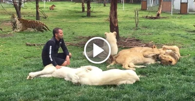 Tigre interviene para que un leopardo no ataque a su cuidador