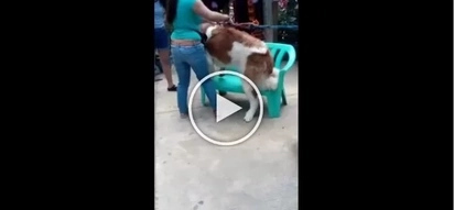 Ang sama! Cruel woman caught hitting St. Bernard dog in Baguio City for photo's sake