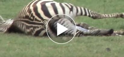 WATCH: Heartwarming video of zebra being born