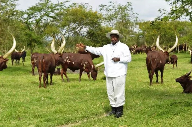 Giant Python killed at President Yoweri Museveni farm