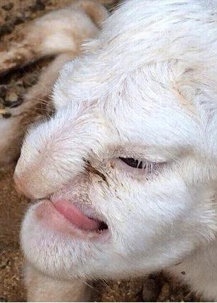 Mira este increíble cordero que nació con cara humana