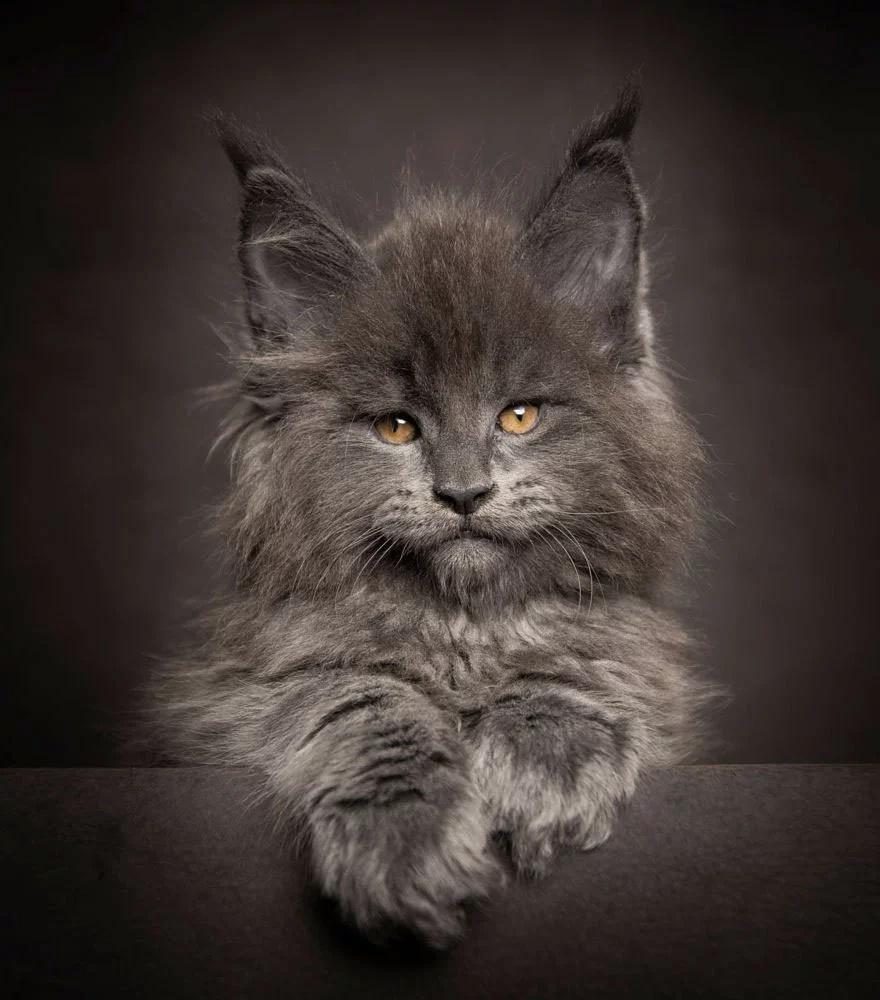 Bestias míticas: Fotógrafo captura la belleza de Maine Coons