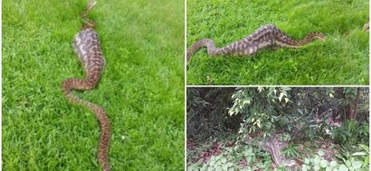 Huge 40kg python mistaken for CROCODILE after swallowing wallaby whole (photos, video)