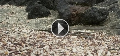 STRIKING VIDEO: Watch as this small iguana escapes a field full of snakes