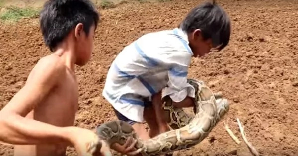 Two Fearless Boys Pick Two Extremely Large Snakes Like Sticks. Watch This Jaw-Dropping And Daring Adventure Of These Two Boys In The Farm.