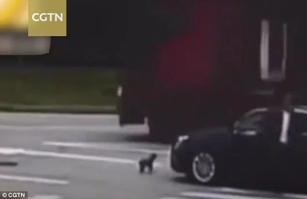 Wow! Little dog chases and BLOCKS reckless driver who hit its owner, tried to escape (photos)