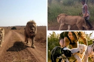 Woman seen walking with a lion (photos)
