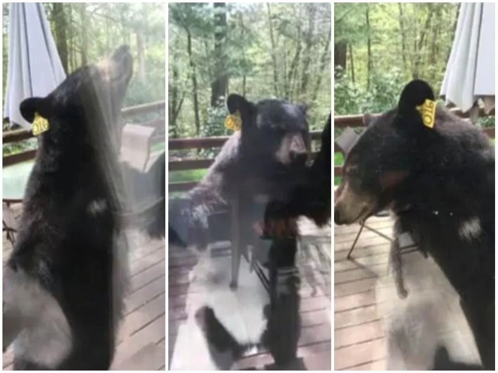Frightening moment giant BEAR attempts to break into woman's house through glass window (photos)