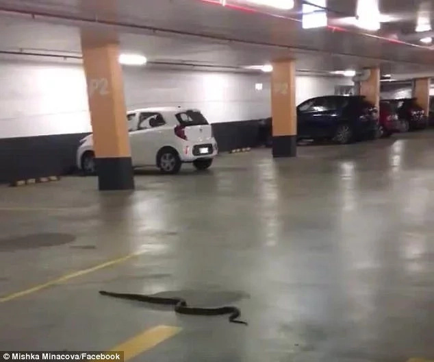 Drama as giant python blocks shoppers from getting into their vehicles in busy city car park