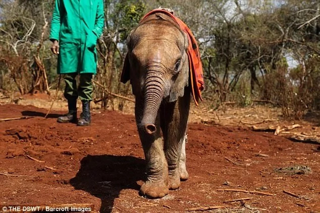 He has recovered well within a few months. Photo: The DSWT/Barcroft Images