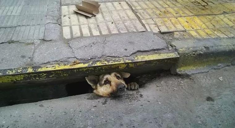 Perro estuvo cuatro días atrapado en una alcantarilla