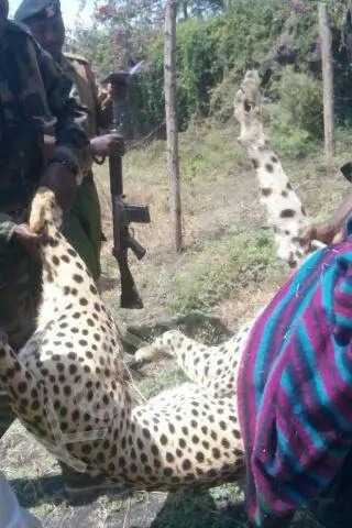 Cheetah sneaks out of park and strays into family's compound in Utawala