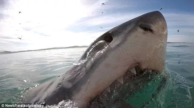Chilling moment great white shark emerges inches away from cage diver with its mouth wide open