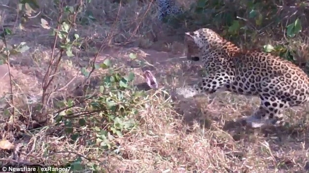 Epic! Angry leopard takes on PYTHON in deadly death fight; see who wins (photos, video)