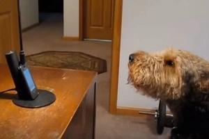 ¡Este perro habló! Escuche su conversación con su dueña por teléfono