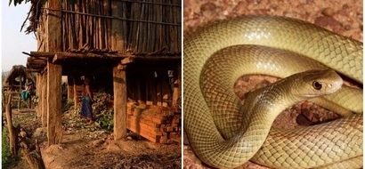 Girl, 18, dies of snakebite after being banished to a shed because she was on her period