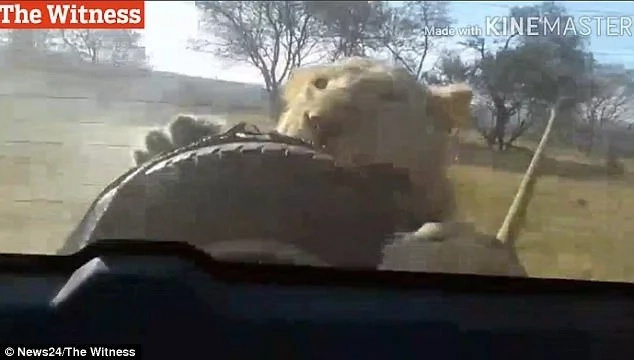 Tense moment as lion starts eating a car as it drives through a safari park