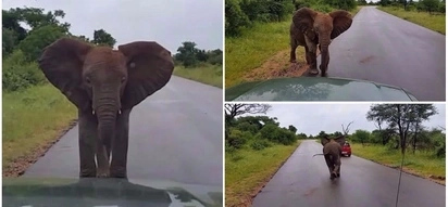 I'm king of the road! Adorable baby elephant charges at cars to show them who's boss