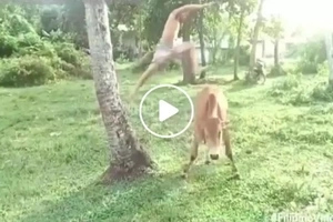 This guy's hilarious version of 'luksong baka' scared the hell out of the cow