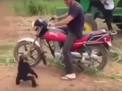 Cute Monkey Goes Berserk When He Isn't Allowed To Ride A Motorcycle