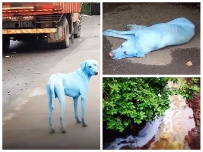 Shock as white stray dogs turn blue after drinking and bathing in river