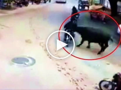 Aggressive carabao brutally knocks out unsuspecting motorcycle rider in India